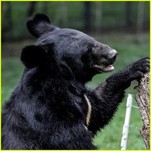 Black Bear & Her Cubs Go Swimming in Lake Tahoe Alongside Shocked Beachgoers!
